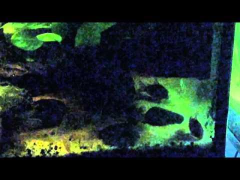 Low-tech Corydoras Planted Aquarium - January 2014