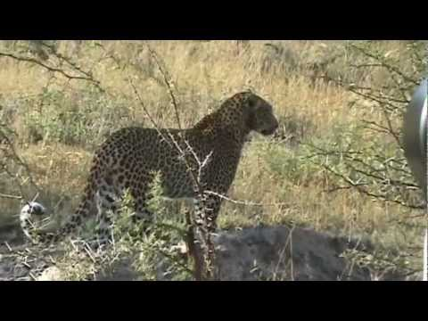 Leopard Hunting Impala - 29 April 2012 - Kruger Sightings