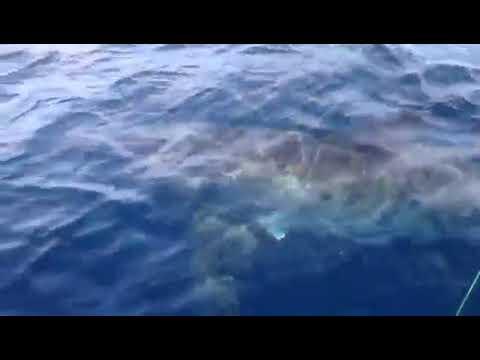 Romagna avvistato uno squalo bianco 39 non praticate sport for Disegno squalo bianco