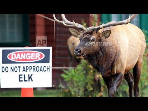 NEWS: Yellowstone Elk Attacks Woman