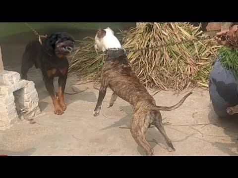 Pitbull vs Rottweiler  hot blood line  pitbull terrier tiger