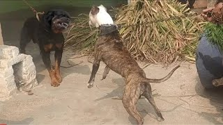 Pitbull vs Rottweiler  hot blood line  pitbull terrier tiger
