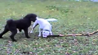 Bulldog Lovers Poodle Terrorizes American Bulldog