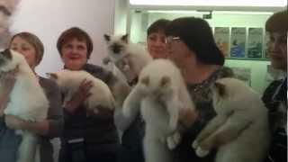 Кошки Священная бирма.mp4