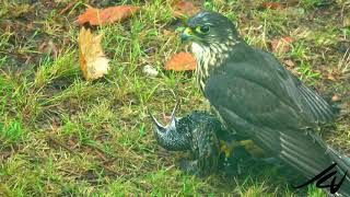 "Falcon *Merlin catches starling  ""Warning Nature at it's rawest""    YouTube"
