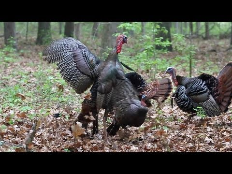Amazing Turkey Bowhunt! No Blind!