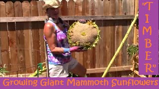 """Timber!"" Growing Giant Mammoth Sunflowers"