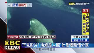 最新》罕見影片!活潑殺人鯨吐食物熱情分享