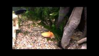 Axolotl und Fische