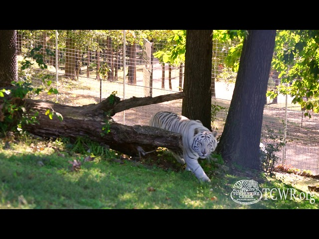 Tiger Tuesday: Tiger Facts With Turpentine Creek Wildlife Refuge's Education Department
