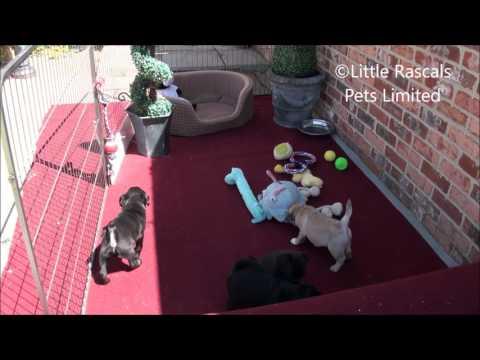 Little Rascals Uk breeders New litter of 15/16 Pug Puppies