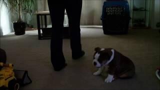 Bulldog Puppy Training Obedience