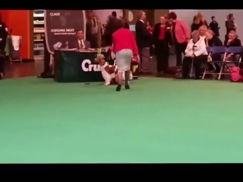 Crufts 2015 - Welsh Springer Spaniels