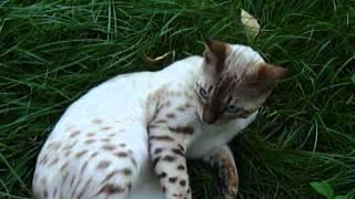 Бенгальский снежный кот
