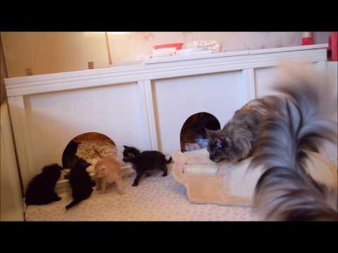 Maine Coon Kitten sind 4 Wochen alt!