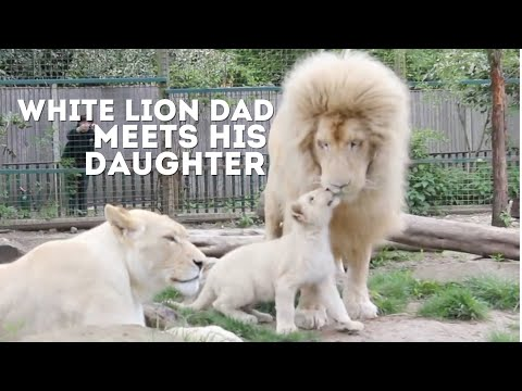 Male White Lion Meets His Daughter For The First Time