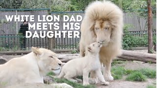 Download Mp3 Male White Lion Meets His Daughter For The First Time