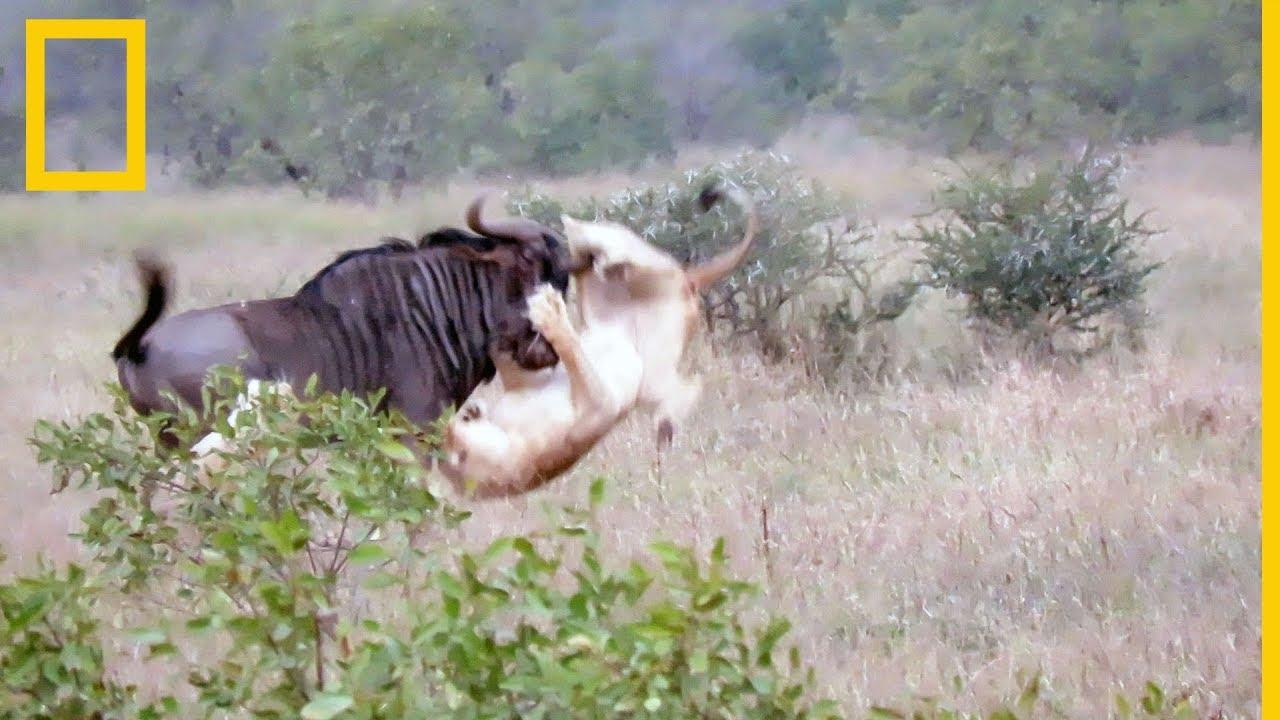 Dos Leones Intentan Cazar A Un ñu Encabritado National Geographic En Español Youtube