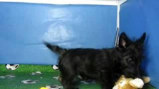 Scottish Terrier Macho Cov Ref:126 4