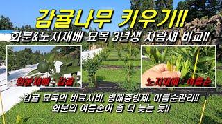 감귤나무 키우기 : 감귤 화분&노지재배 3년생 …