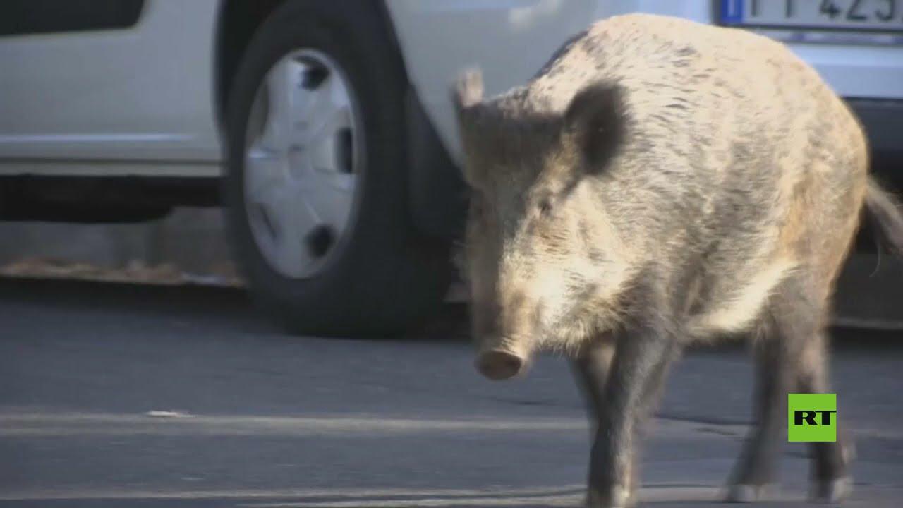 شاهد.. الخنازير البرية تغزو روما