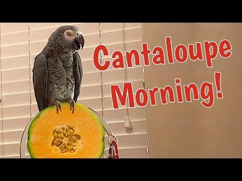 Einstein Parrot wants Cantaloupe for breakfast