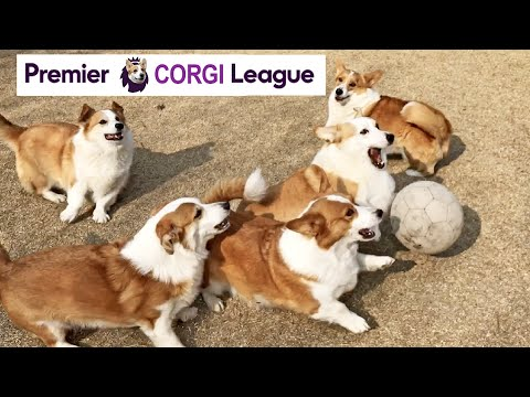 english-welsh-corgi-play-their-heart-out-like-it's-the-premier-league-😂⚽️