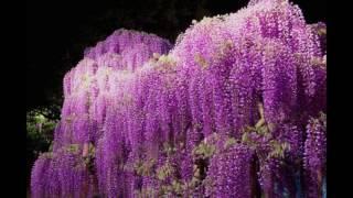 Прикольные картинки Японский фестиваль цветущей глицинии