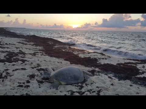 Sea Turtle Rescue  Cozumel