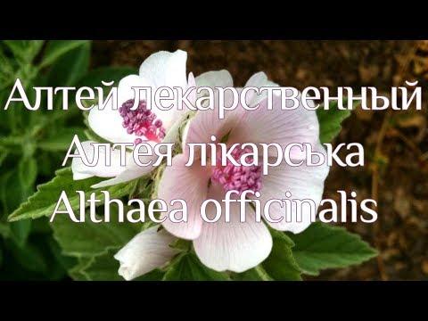 Алтей лекарственный — Википедия