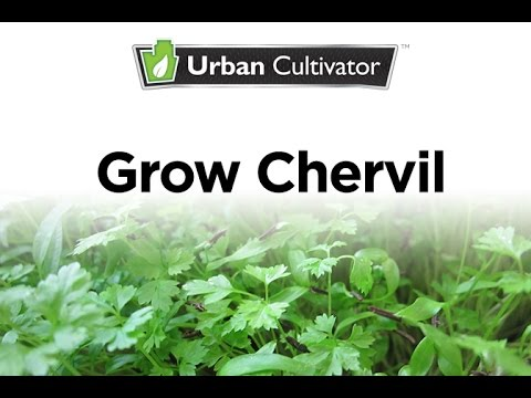 How to Grow Chervil Indoors | Urban Cultivator