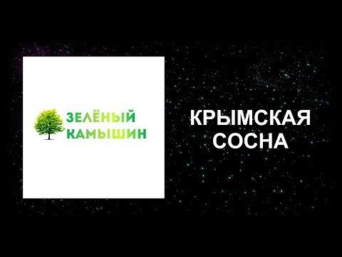 """""""ЗЕЛЁНЫЙ КАМЫШИН"""": СОСНА КРЫМСКАЯ"""