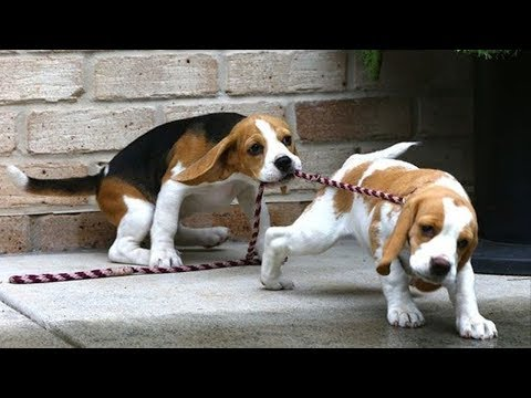 Funny And Cute Beagle Puppies Compilation #5 - Cutest Beagle Puppies