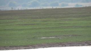 Bar Headed Geese near Hassan, karnataka, India.mp4 Thumbnail