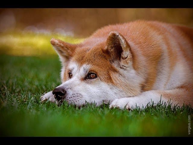 Акита ину (Akita-inu). Породы собак