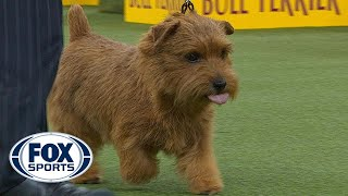 Winston the Norfolk Terrier wins the Terrier Group | WESTMINSTER DOG SHOW (2018) | FOX SPORTS