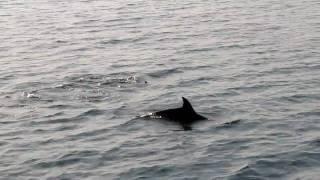 Дельфины в Имеретинской бухте