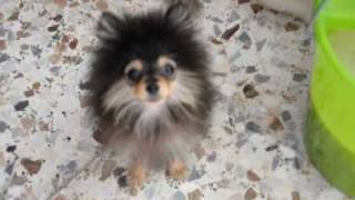 Teddy Pomeranian Puppy Barking