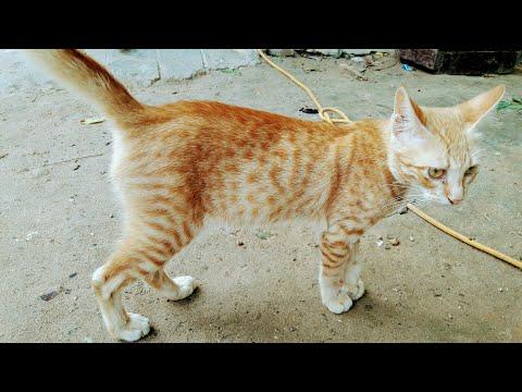 Somali cat  beautiful colour