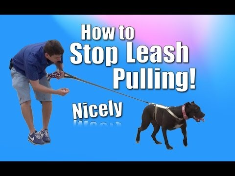 How To Train Your Dog To NOT PULL On The Leash (Chloe The Pit Bull)