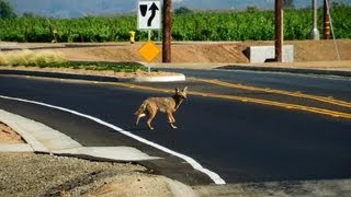 Coyote Trotting Off Into the Distance, Temecula, California