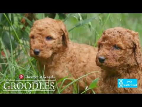 Red Standard Groodle pups