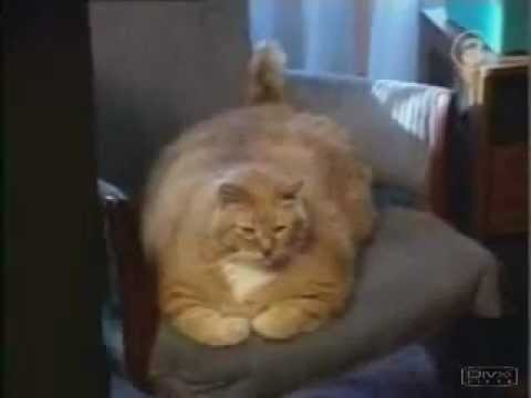 guiness world record worlds fattest cat 2012
