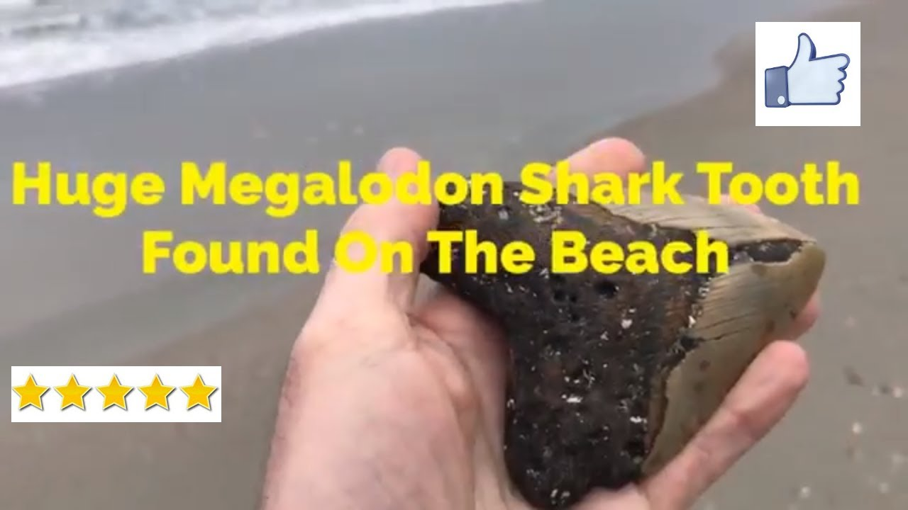 Huge Megalodon Shark Tooth Found On The Beach