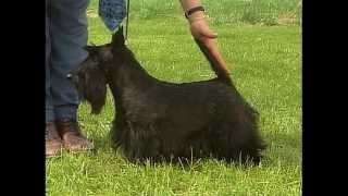 Scottish Terrier - Akc Dog Breed Series