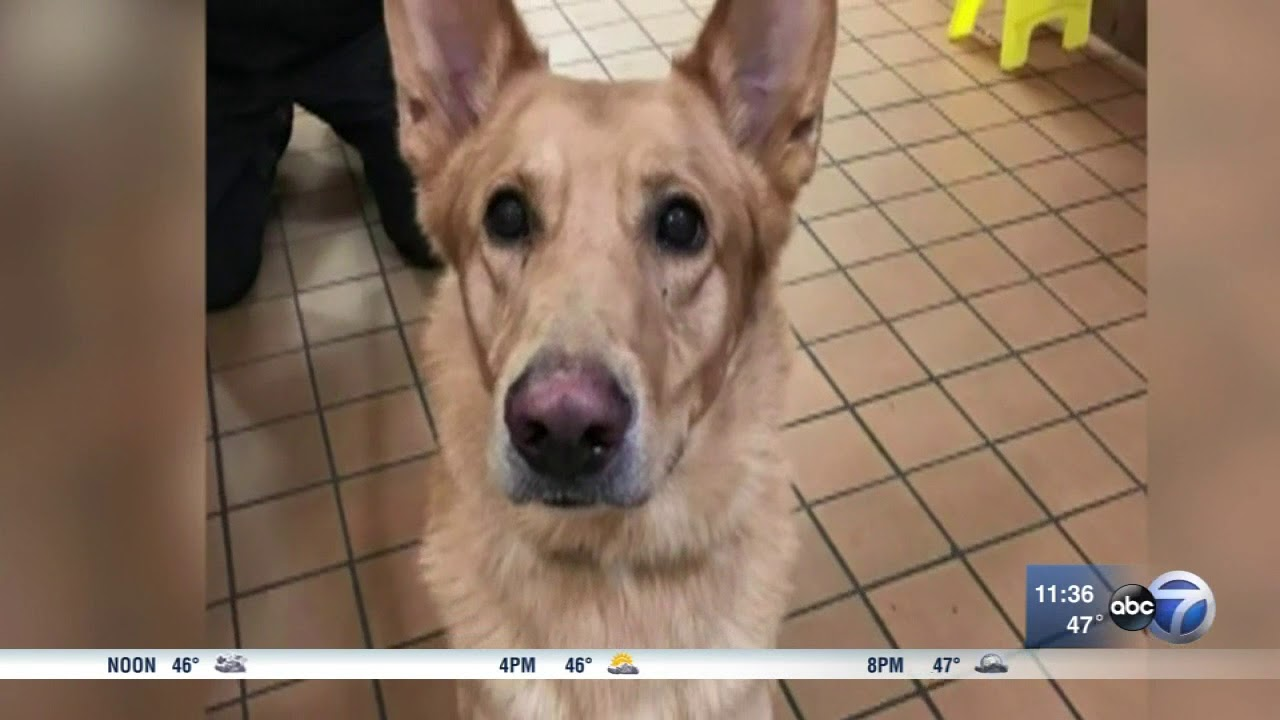 Download Chicago dog gets 'sex-change' surgery to save its life