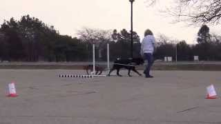 American Rottweiler Club 2014 Ci - High In Trial