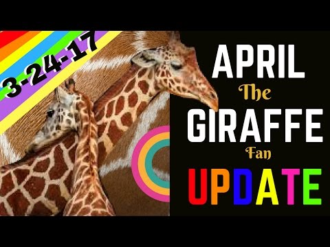 APRIL THE GIRAFFE LABOR & BABY UPDATE 3-24-17 (Lets Chat!) Birth seems SO close!