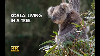 #KOALA - LIFE ON TOP OF AN #EUCALYPT TREE | #WILDLIFE #ANIMAL ENCOUNTERS IN #AUSTRALIA IN #4K 50 FPS