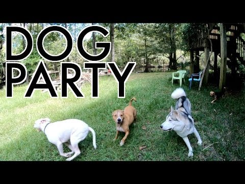 Siberian Husky Meets Staffordshire Bull Terrier, Pitbull, & Jack Russell Terrier - Dog Party!